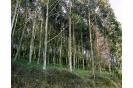 Eucaliptal en Cima de Vila, Trabada