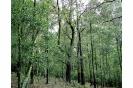 Plantación de acacia negra en Monte Teixido